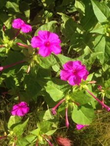 ・オシロイバナ(種、茎、根)