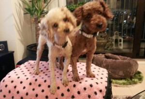 2014年8月3日、キャンディ(左)と花子(右)が我が家にきた日