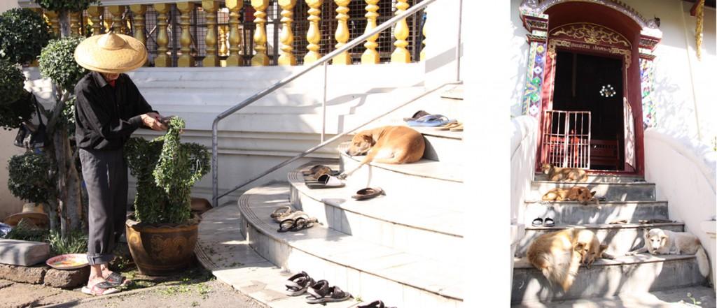 タイの寺院にはつきものといっていい、「マーワット(寺の犬)」。自由気ままにも見えますが……。