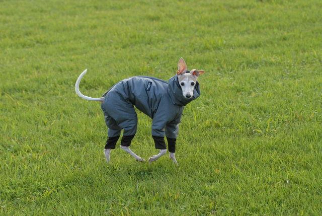 シングルコートのうえ短毛のイタリアン・グレーハウンド。防寒対策には、モコモコで風を通さないウェアが最適。